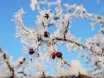Rönn-tree Royaltyfri Bild