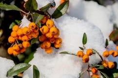 Rönn under snön royaltyfri foto