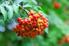 Rönnbär Royaltyfria Bilder