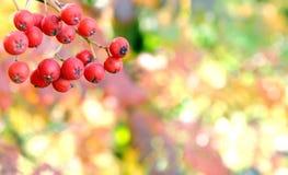 Rönnbär Fotografering för Bildbyråer