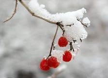 rönnbär Arkivfoton