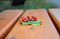 Rönnbär Royaltyfri Foto