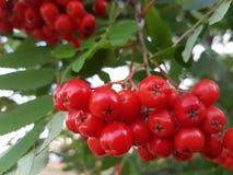 Rönnbär Arkivbild