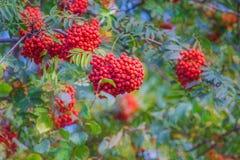 Rönnbär för bakgrundsbärträd arkivbilder