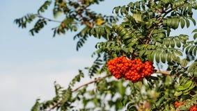 Rönnbär från slut Royaltyfria Bilder