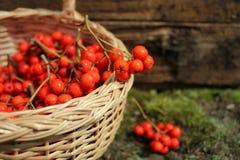 rönnbär i en vide- korg Royaltyfri Bild