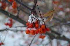 Rönnbär i vinter arkivfoton