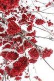 Rönnbär i vinternatur Arkivbild