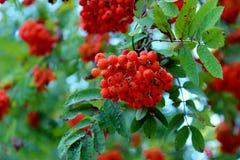 Rönnbär, röd rönn, skörden av rönnbär, bär för fåglar Royaltyfri Bild