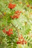 Rönnbär som hänger från träd Arkivfoto