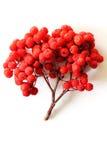 Rönnbär som isoleras på vit Royaltyfri Foto