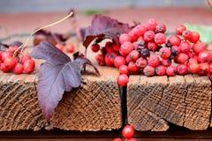 Rönnbär sprids Arkivbild
