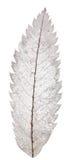 Rönnbladskelett som isoleras på vit Arkivbild