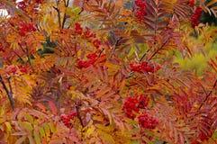 Rönnen förgrena sig med röda bär i den guld- hösten Royaltyfria Bilder
