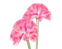 Röntga bilden av en blomma som isoleras på vit, coxcomben stock illustrationer