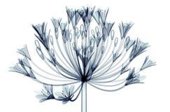Röntgenbild einer Blume lokalisiert auf Weiß, Bell-Agapanthus Lizenzfreies Stockfoto