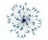Röntgenbild einer Blume lokalisiert auf Weiß, Bell-Agapanthus Lizenzfreie Stockbilder