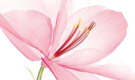 Röntgenbild einer Blume lokalisiert auf Weiß, der Kranke Ameryllis 3d lizenzfreie stockfotografie