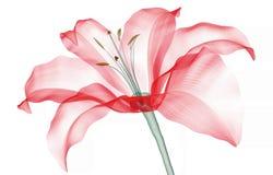 Röntgenbild einer Blume lokalisiert auf Weiß, die Lilie lizenzfreie abbildung