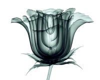 Röntgenbild einer Blume lokalisiert auf Weiß, die Rose lizenzfreie abbildung