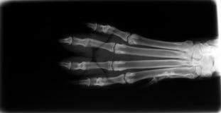 Röntgenstråle av foten av en hund Royaltyfria Bilder