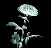 Röntgenstrålebildblomma som isoleras på svart, Pomponkrysantemumet Royaltyfri Fotografi