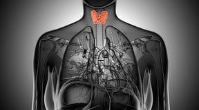 Röntgenstråleillustration av den kvinnliga sköldkörteln Royaltyfri Fotografi