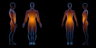 Röntgenstraal menselijk mannelijk vrouwelijk lichaam Geïsoleerd op witte achtergrond Isoleer, 3d geef terug vector illustratie