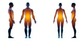 Röntgenstraal menselijk mannelijk vrouwelijk lichaam Geïsoleerd op witte achtergrond Isoleer, 3d geef terug stock illustratie