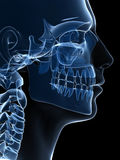 Röntgenstraal scull Stock Afbeelding