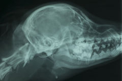 Röntgenstraal van de schedel van een hond royalty-vrije stock fotografie