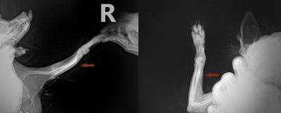 Röntgenstraal voor de breukbeen van het ellepijpbeen bij hond Chihuahua Stock Foto