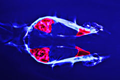Röntgenstraal voor hoofdhond royalty-vrije stock foto