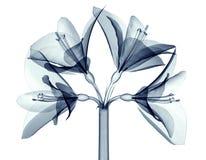 Röntgenstraalbeeld van een bloem op wit, Amaryllis wordt geïsoleerd die Royalty-vrije Stock Fotografie
