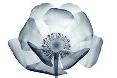 Röntgenstraalbeeld van een bloem op wit, de papaverpapaver wordt geïsoleerd die Stock Foto