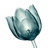 Röntgenstraalbeeld van een bloem op wit, de tulp wordt geïsoleerd die stock illustratie