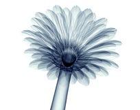 Röntgenstraalbeeld van een bloem op wit, gebera wordt geïsoleerd die Royalty-vrije Stock Afbeelding
