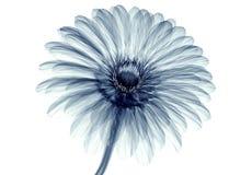 Röntgenstraalbeeld van een bloem op wit, gebera wordt geïsoleerd die Stock Fotografie