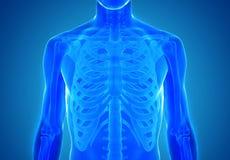 Röntgenstraalmening van menselijke anatomie in blauw Royalty-vrije Stock Foto's