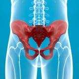 Röntgenstrahl des menschlichen Körpers der Pelvis Lizenzfreie Stockfotos