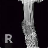 Röntgenstrahl des Osteosarcomaknochen-Tumorvorderbeins ein Hund Stockfotos
