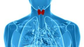 Röntgenstrahlillustration der männlichen Schilddrüse Stockbild
