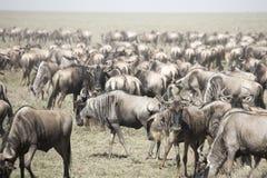 Rörande flock av gnu i stor flyttning i Serengeti Natio fotografering för bildbyråer
