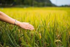 Rörande risfältväxter för kvinnlig hand arkivbilder