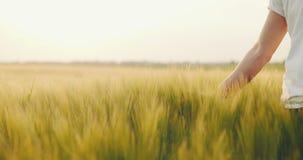 Rörande vete för bonde Plockningbegrepp arkivfilmer