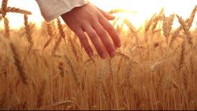 Rörande vete för kvinnlig hand på soluppgång arkivfilmer
