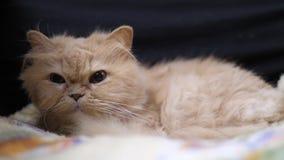 Rörelse av att sova den persiska katten och att spela med folk på stol arkivfilmer