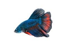 Rörelse av den Betta fisken Arkivfoton