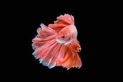 Rörelse av den Betta fisken Fotografering för Bildbyråer