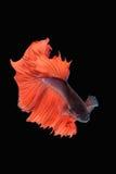 Rörelse av den Betta fisken Arkivfoto